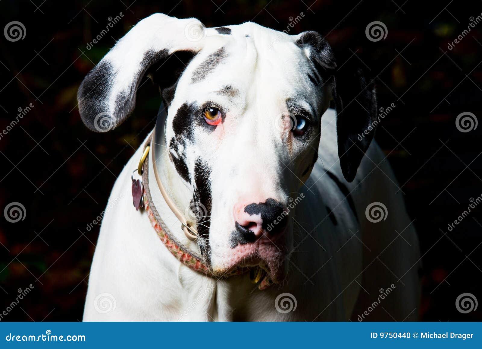 De grote Hond van de Deen