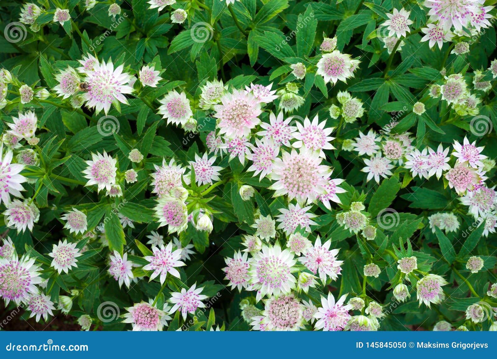 De grote majoor die van masterwortastrantia in een tuin bloeien