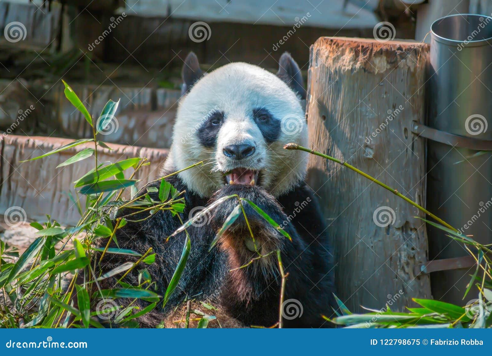 De grote panda eet bamboe in Chiang-de Dierentuin van MAI, Thailand