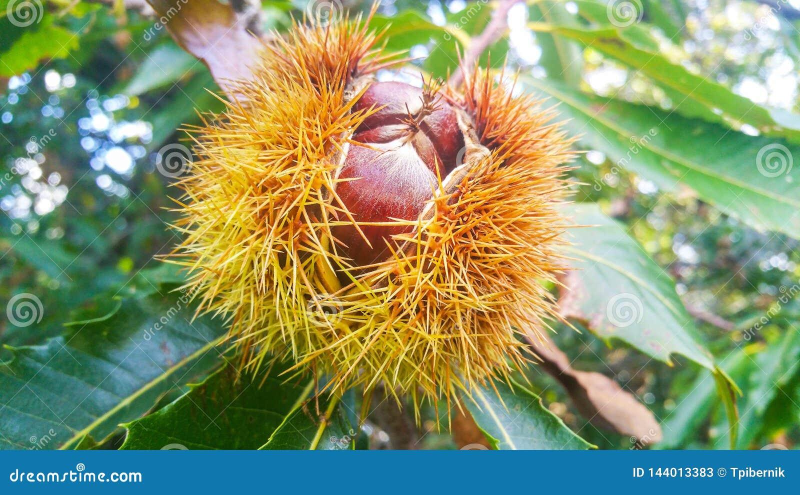 De grote wilde kastanjes sluiten omhoog op een brunch in geopende stekelige shell die op een boom groeien