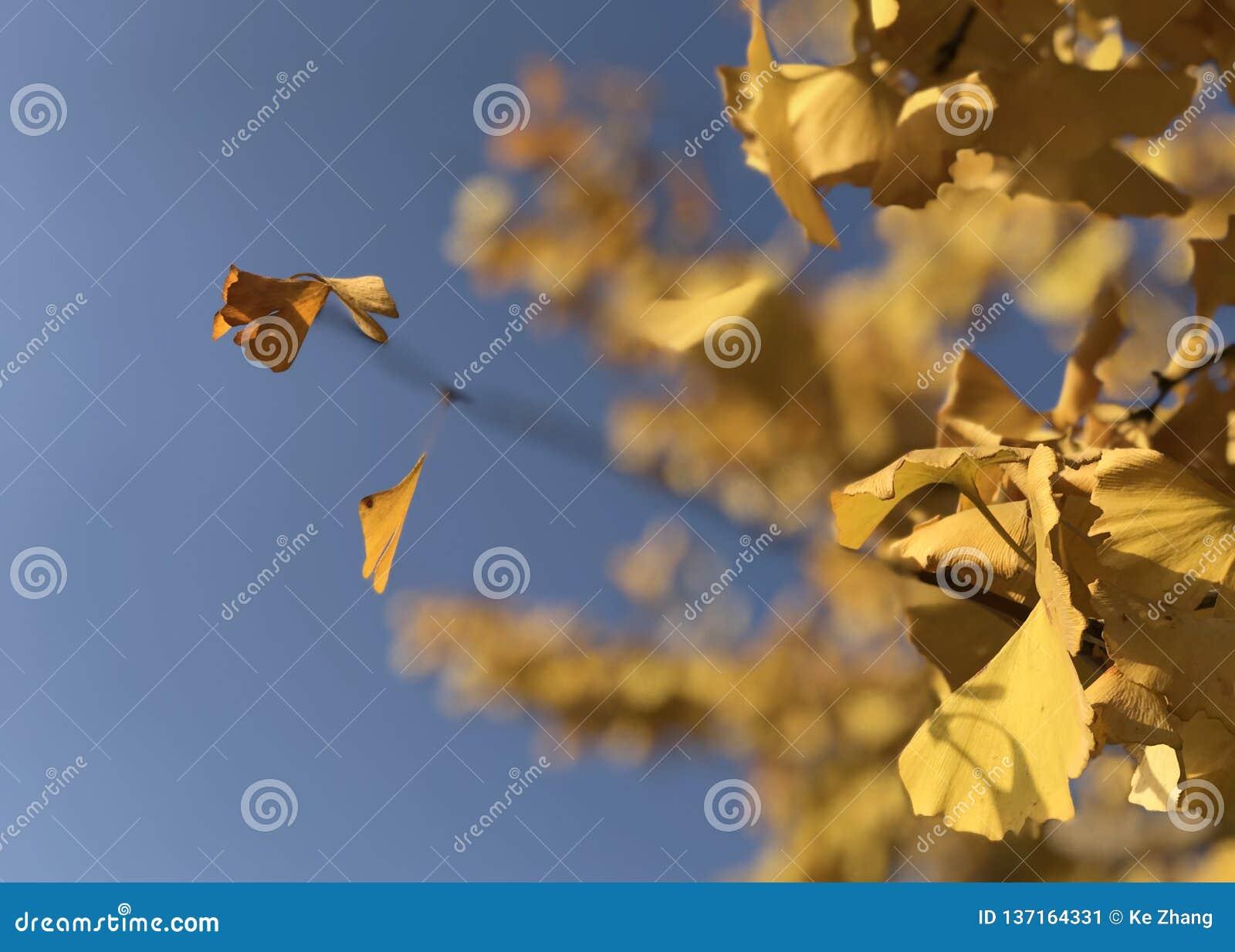 De gula sidorna av Ginkgobilobaen under den blåa himlen