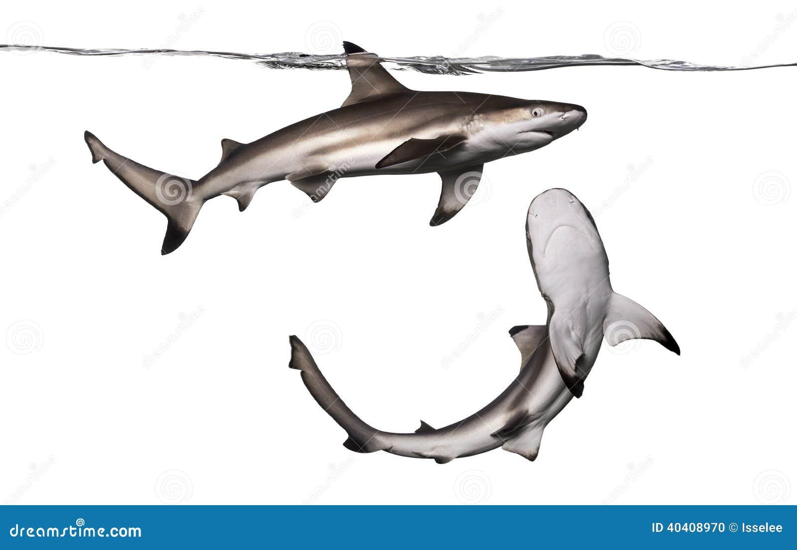 De haai van de Blacktipertsader wordt bekeken die van onderaan