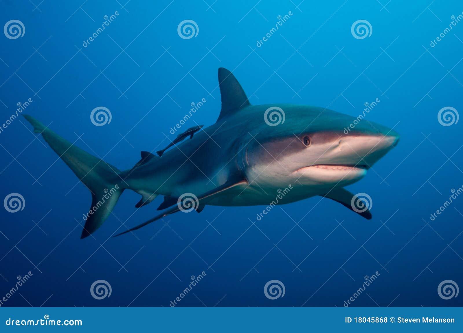 De haai van de ertsader