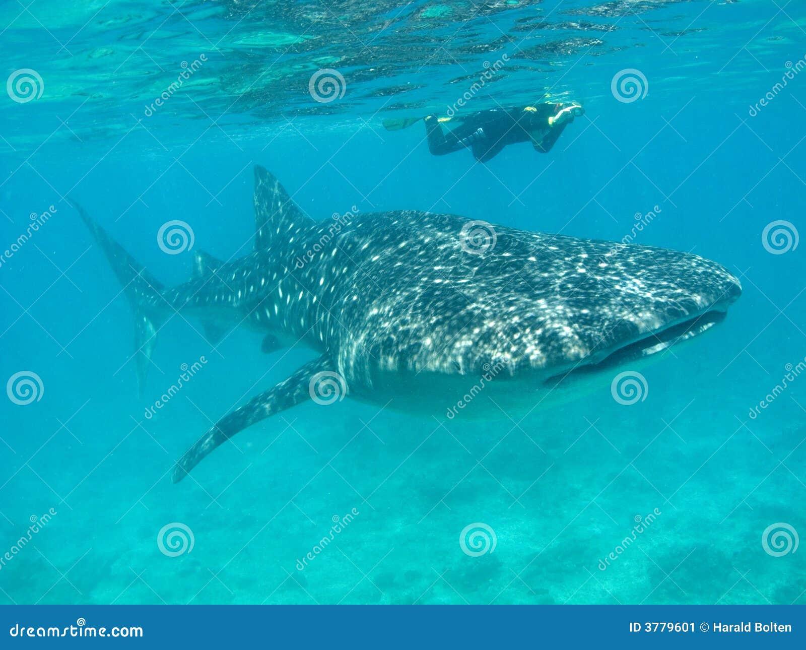 De haai van de walvis