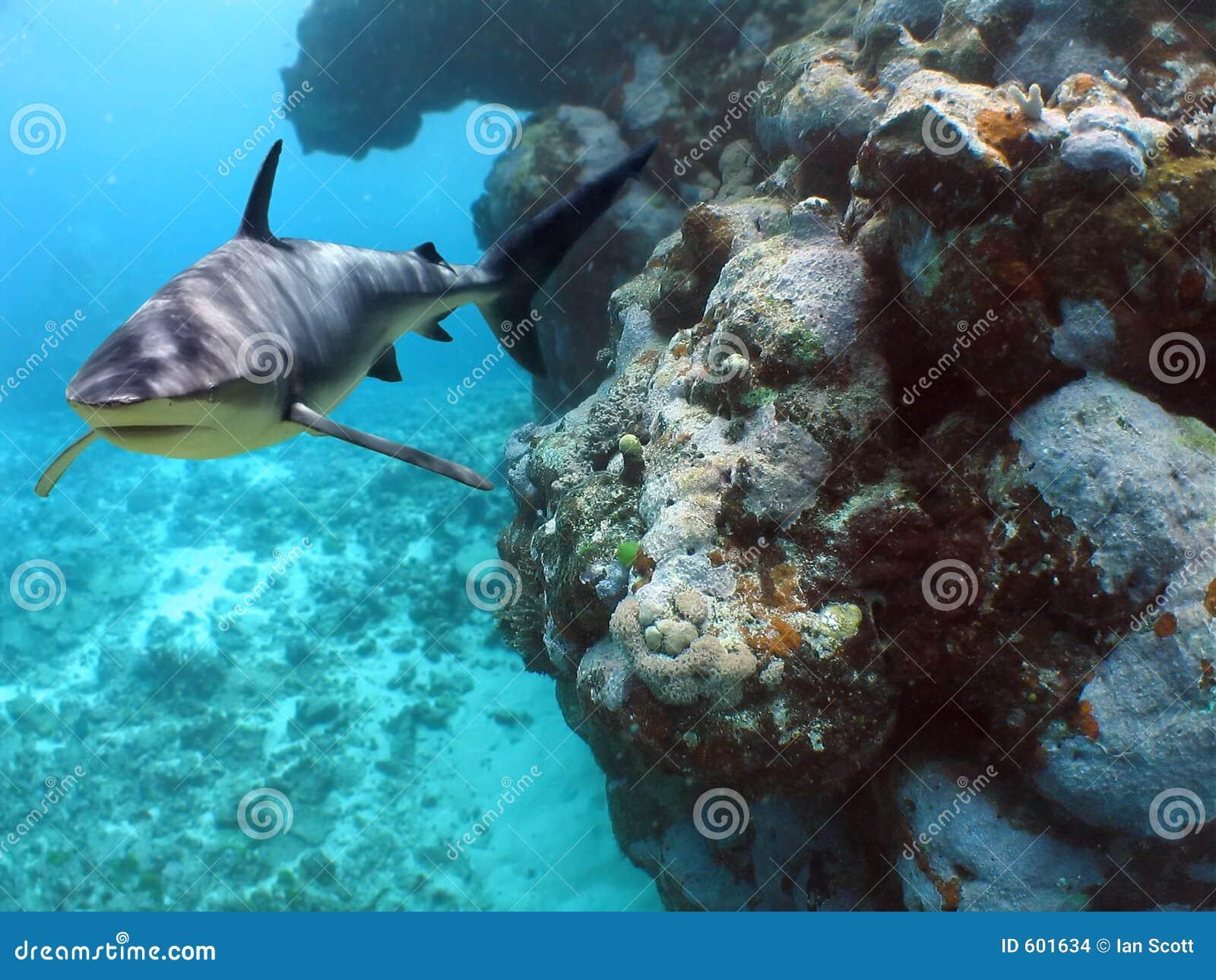 De Haai van het koraal