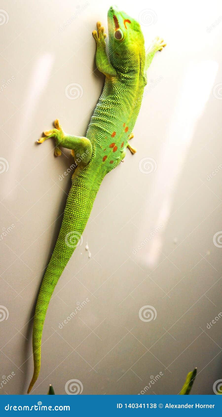 De hagedis van Caroline anole het groene kleurrijke beklimmen op muur