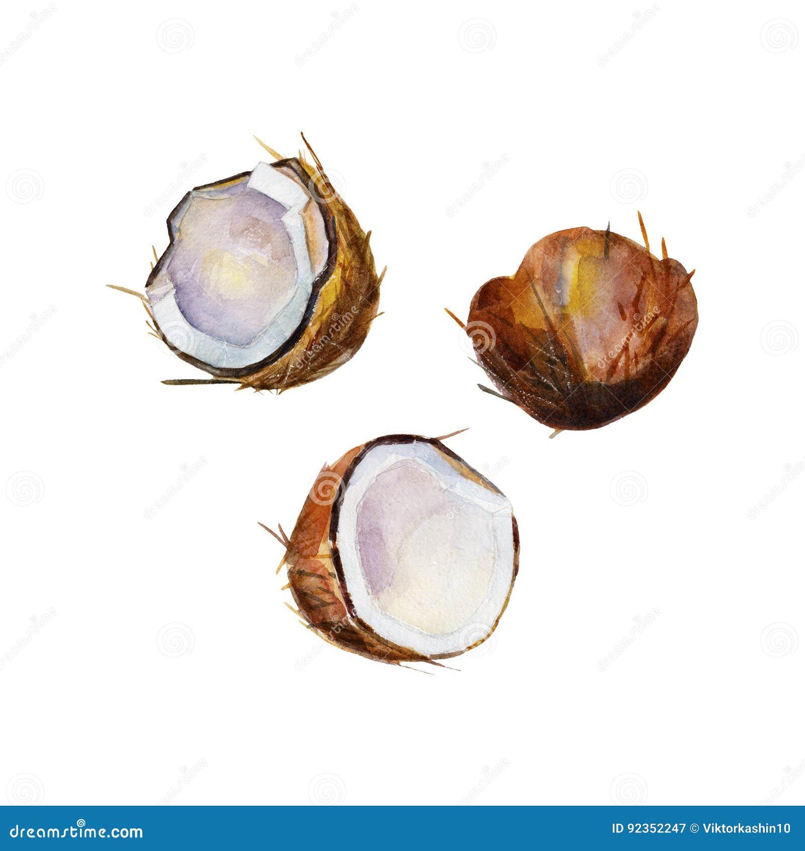 De halve kokosnoot in perspectief op witte achtergrond, de reeks van de waterverfillustratie