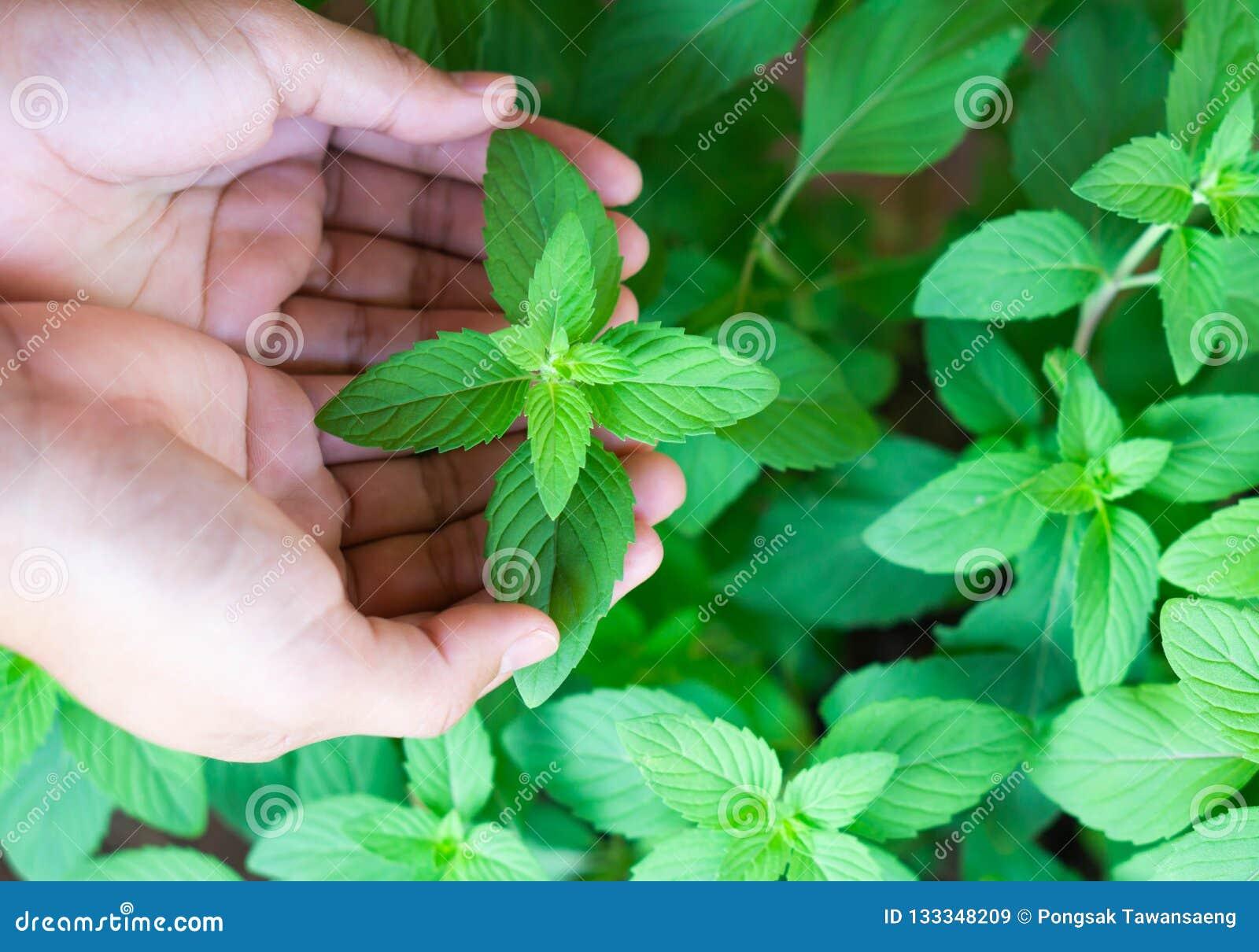De hand die van de close-upvrouw verse pepermunt in pot, kruid houden en hij