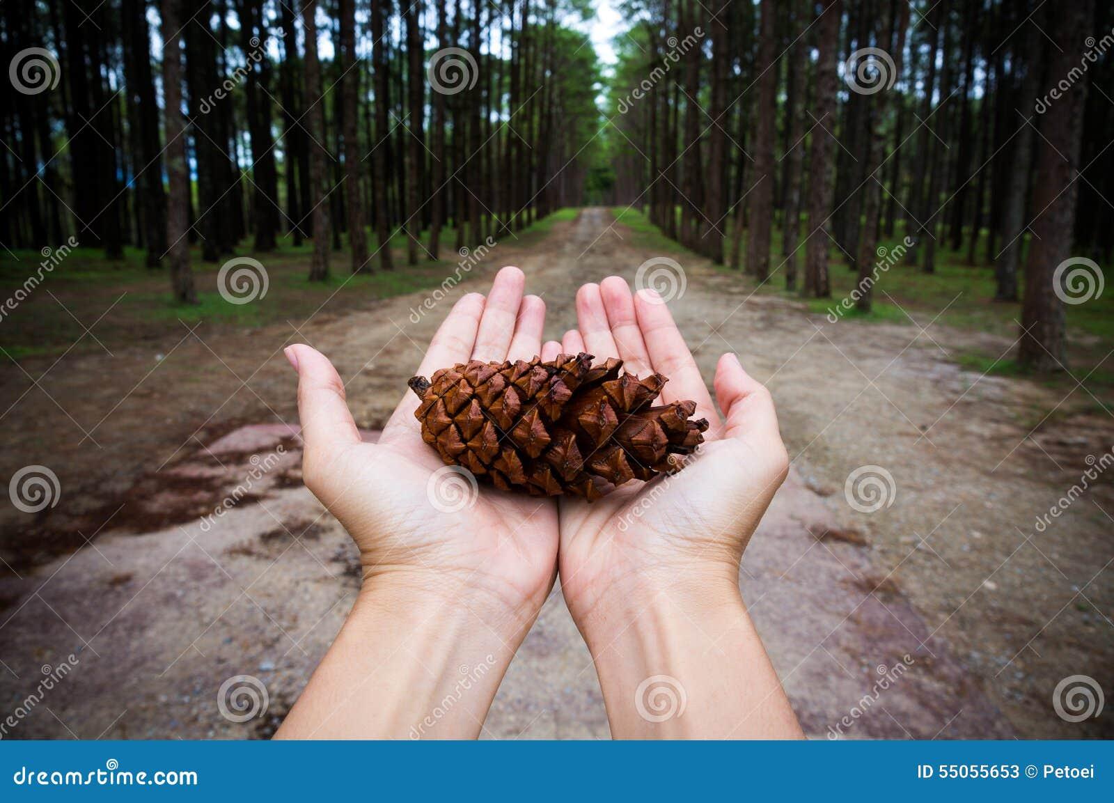 De handen die het zaad van de pijnboomboom houden tonen conservatief idee