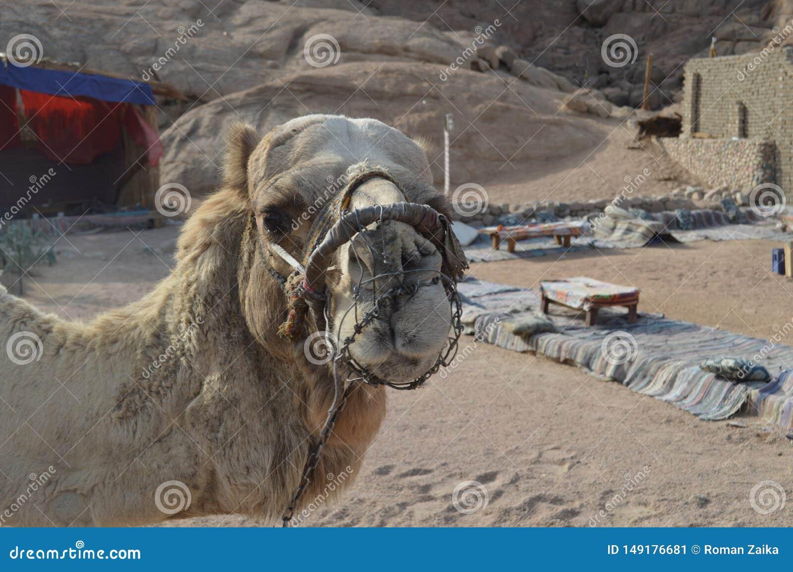 De harde snuit voor kameel remt het bijten en het kauwen
