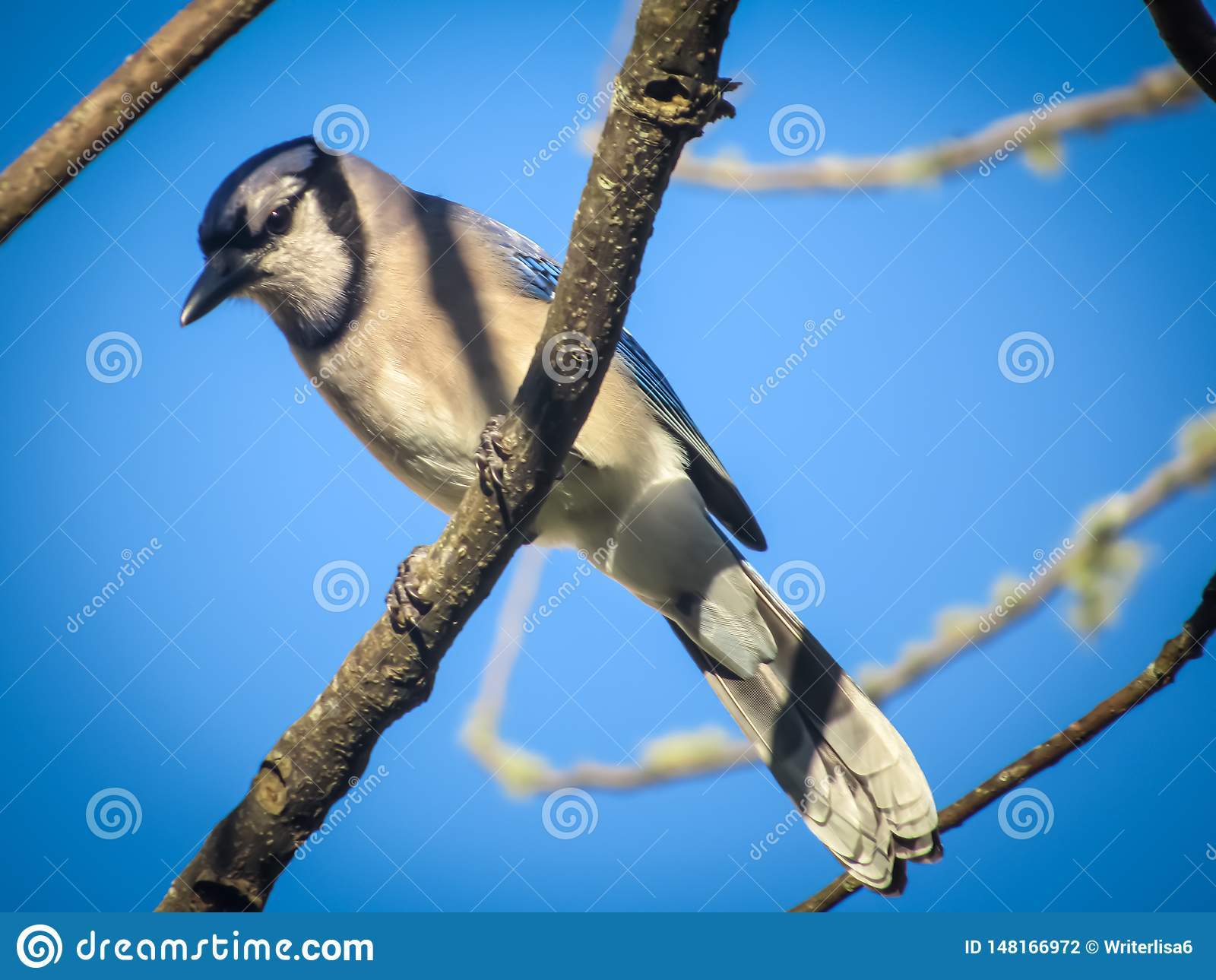 De heer Blauwe Vlaamse gaaizitting in de boom