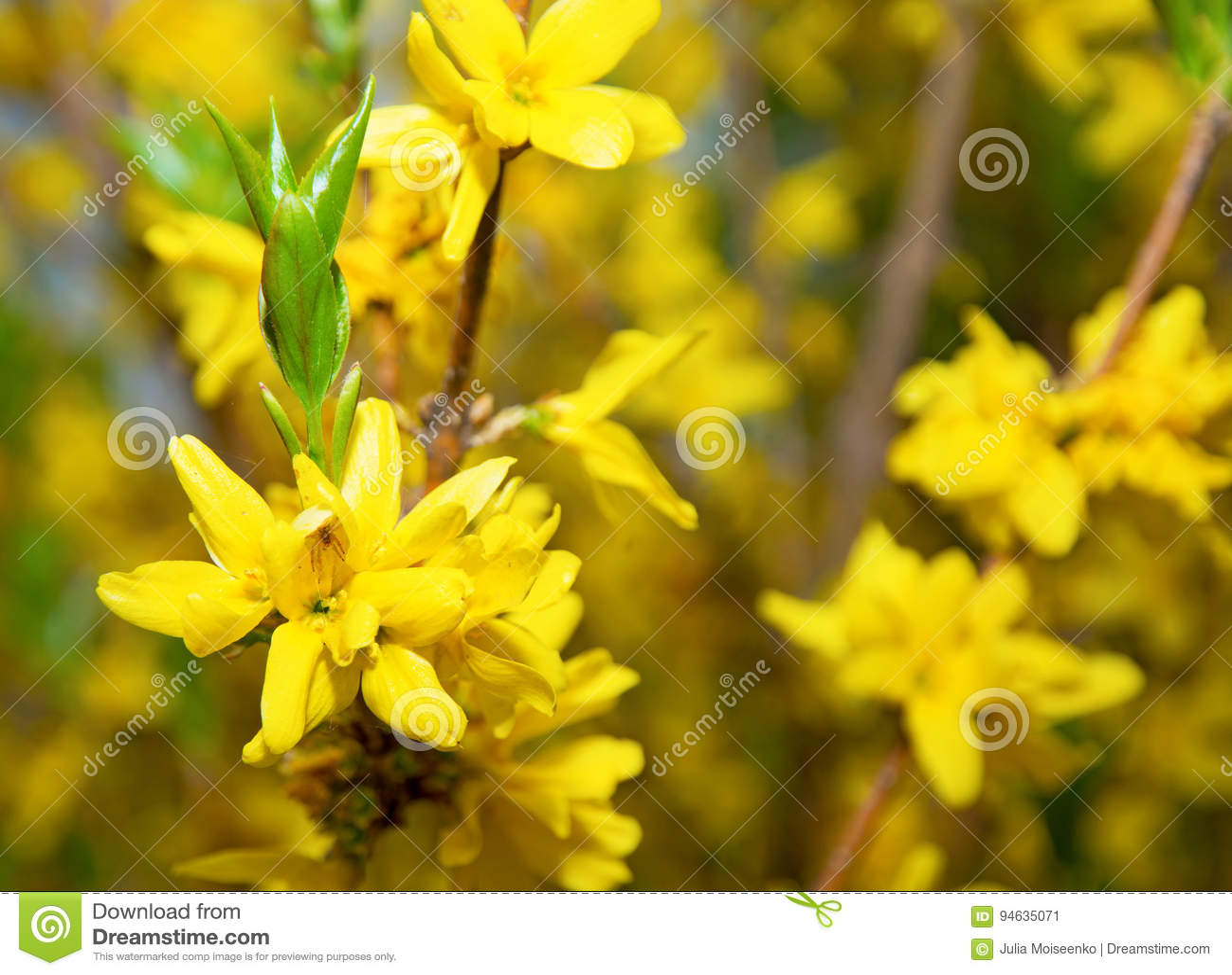 De heldere gele bloemen op Bush, velen bloeien racemes en één zit een mooie spin