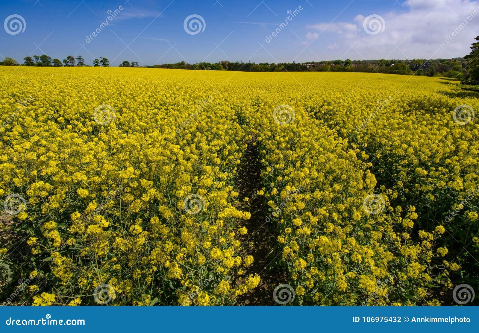De heldere gele bloesem van het raapzaadgebied in de lente