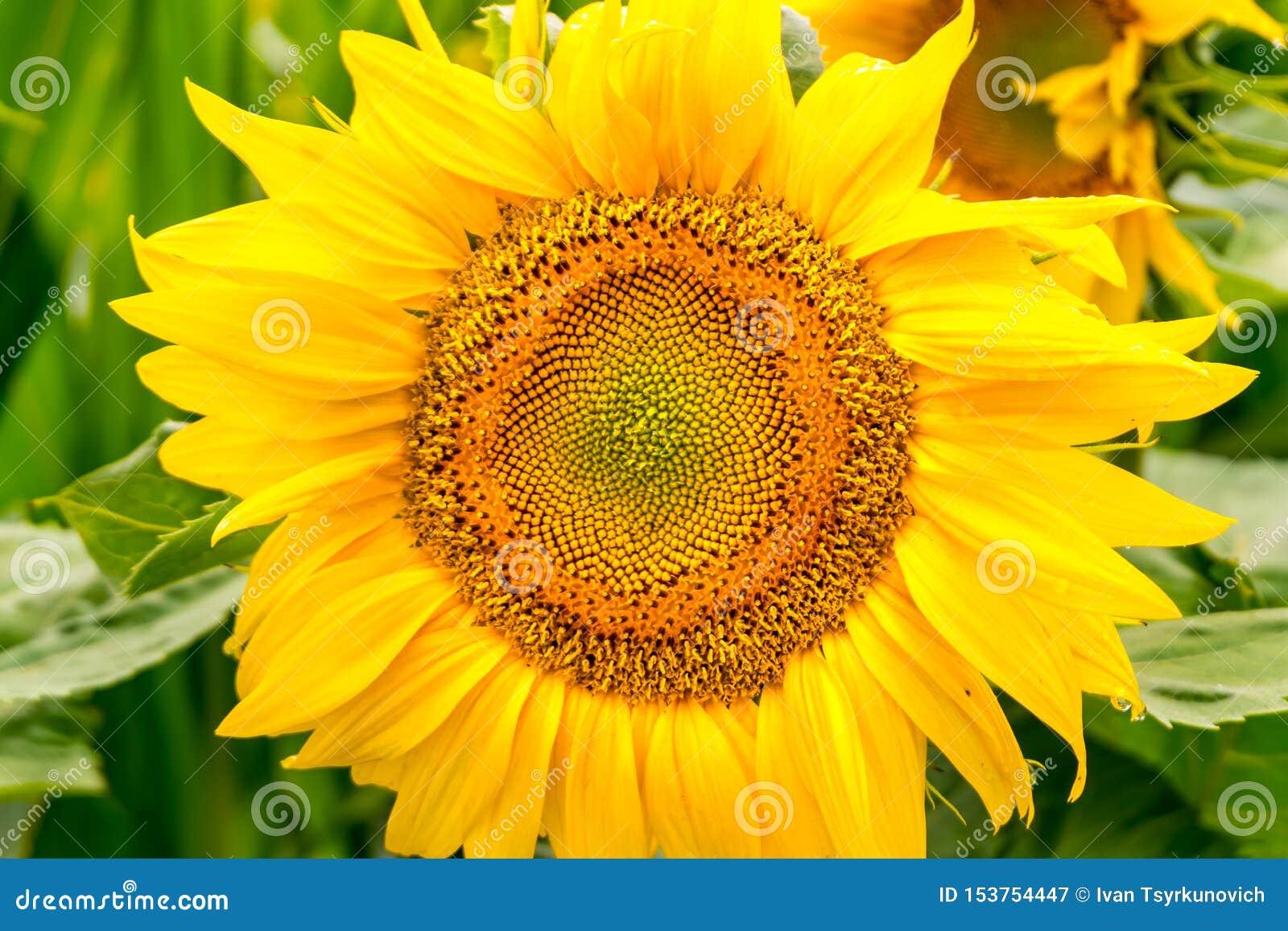 De heldere gele zonnebloemen in volledige bloei in tuin voor olie verbetert huidgezondheid en bevorderen celregeneratie
