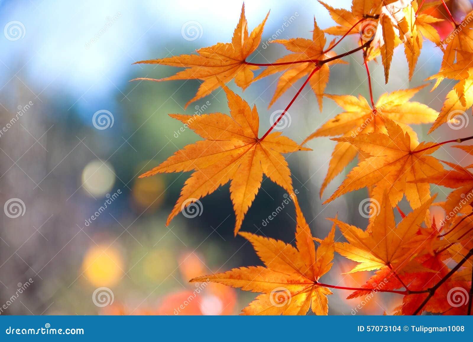 De heldere rode bladeren