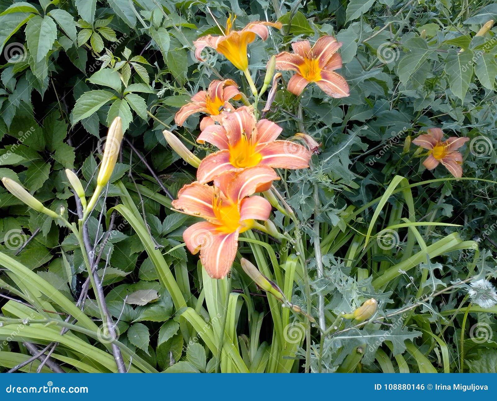 De heldere sinaasappel bloeit daylily