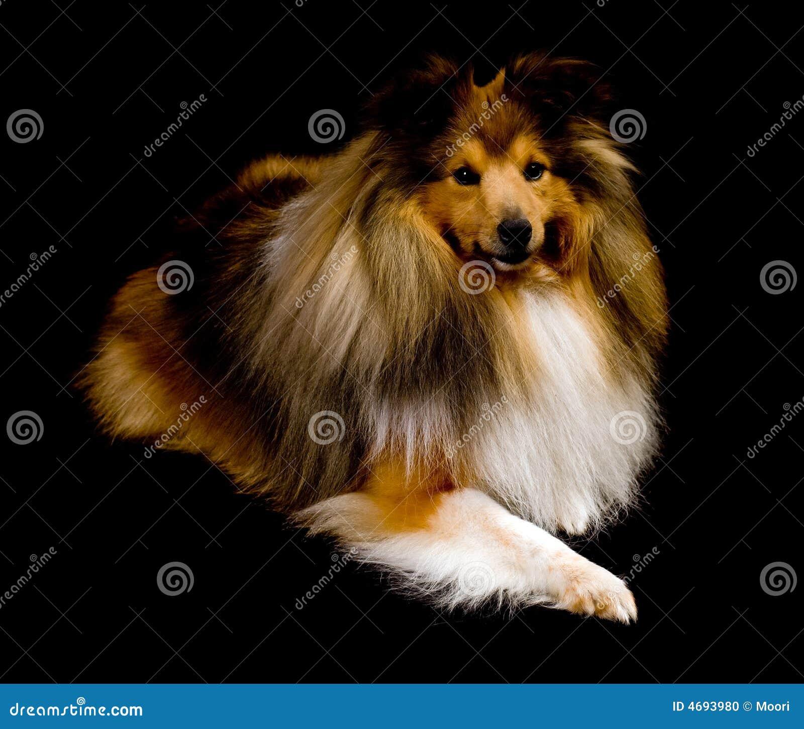De herdershond van Shetland