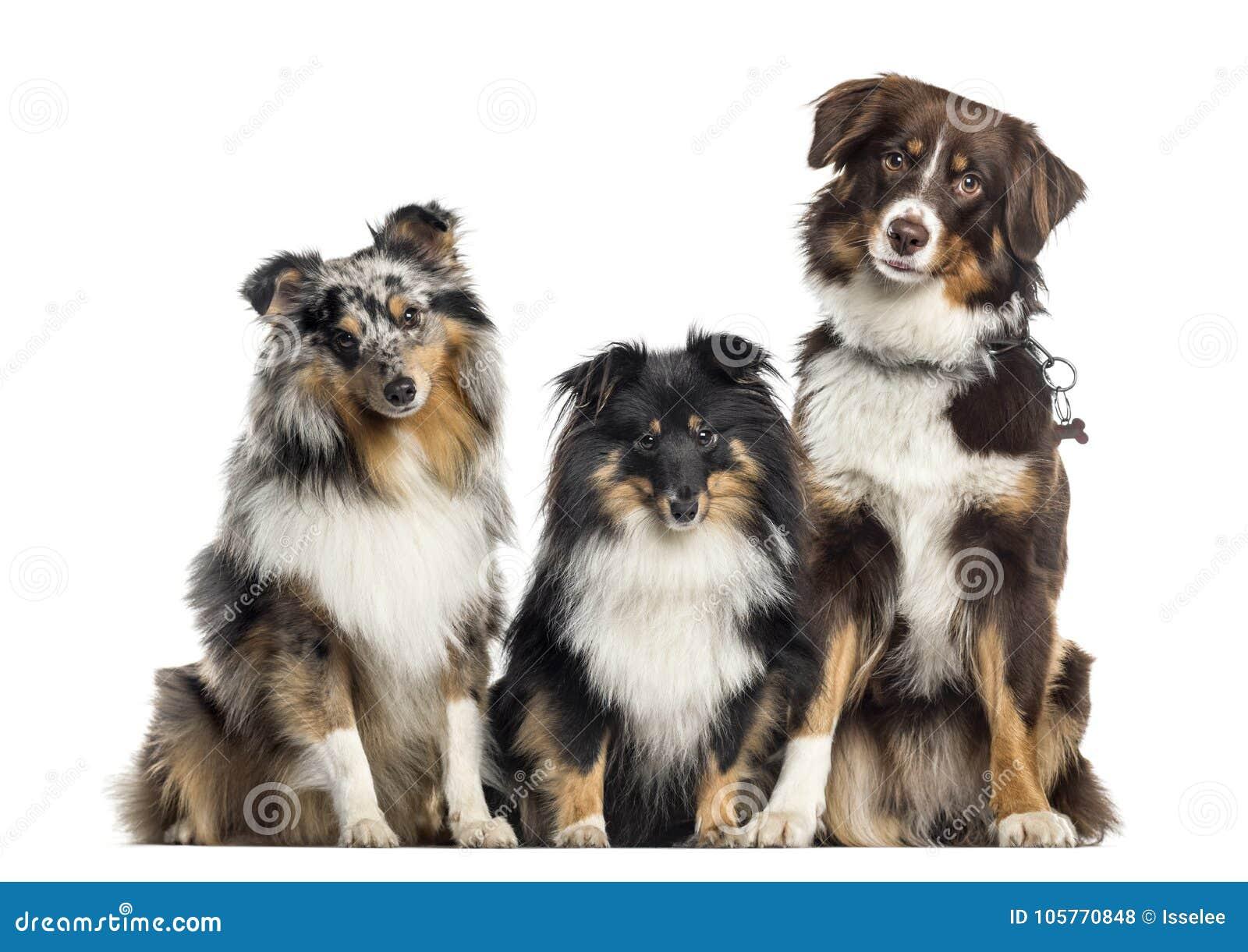 De Herdershond van Shetland en Australische Herder, witte honden op een rij,