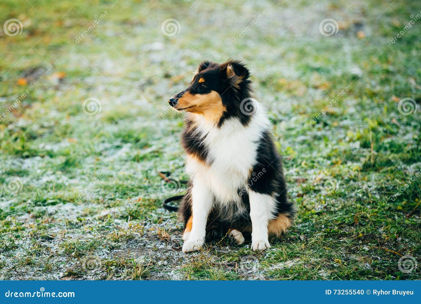 De Herdershond van Shetland, Sheltie, Collie Puppy Outdoor