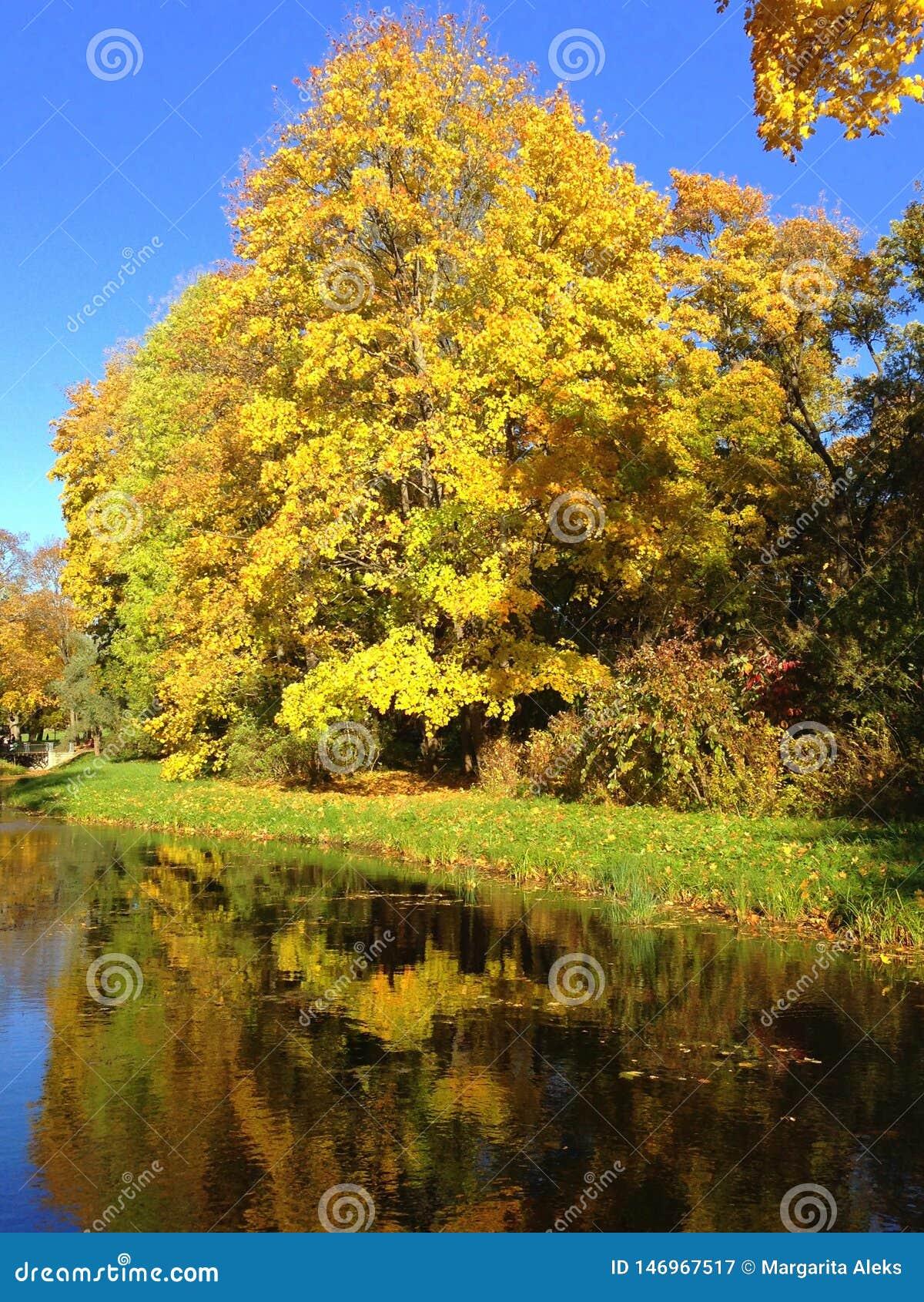 De herfst, dalingslandschap Boom met kleurrijke bladeren dichtbij weinig vijver