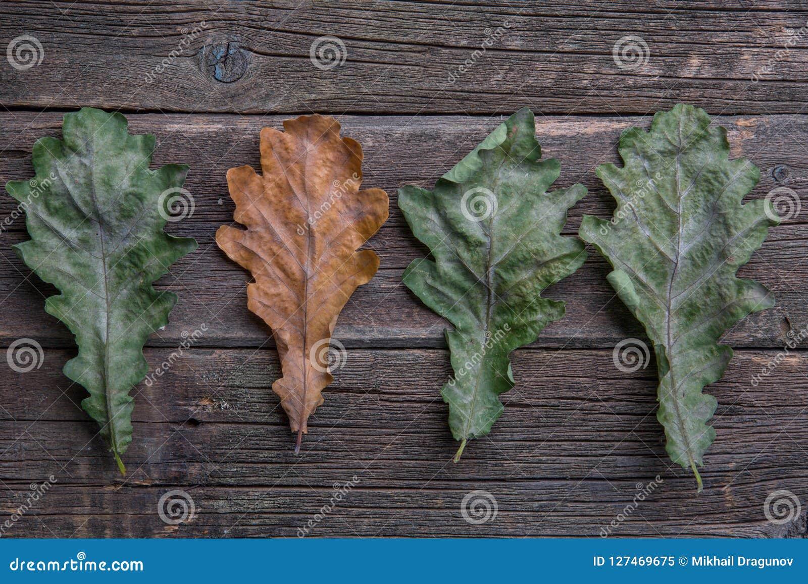De herfst eiken bladeren op een rij,