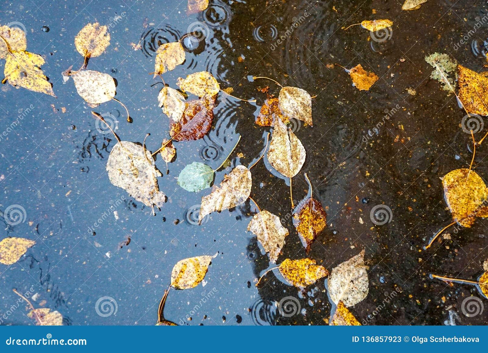 De herfst gele bladeren in het water, in een vulklei, een regen, plonsen en cirkels op het water