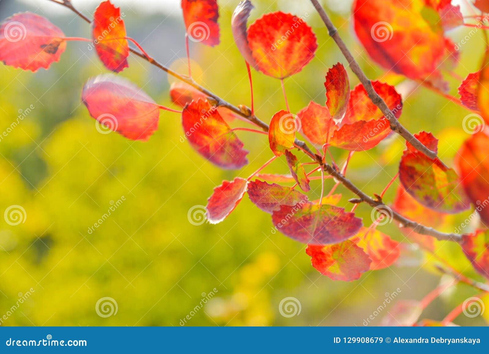 De herfst gele en rode bladeren aspen Aard van centraal Rusland