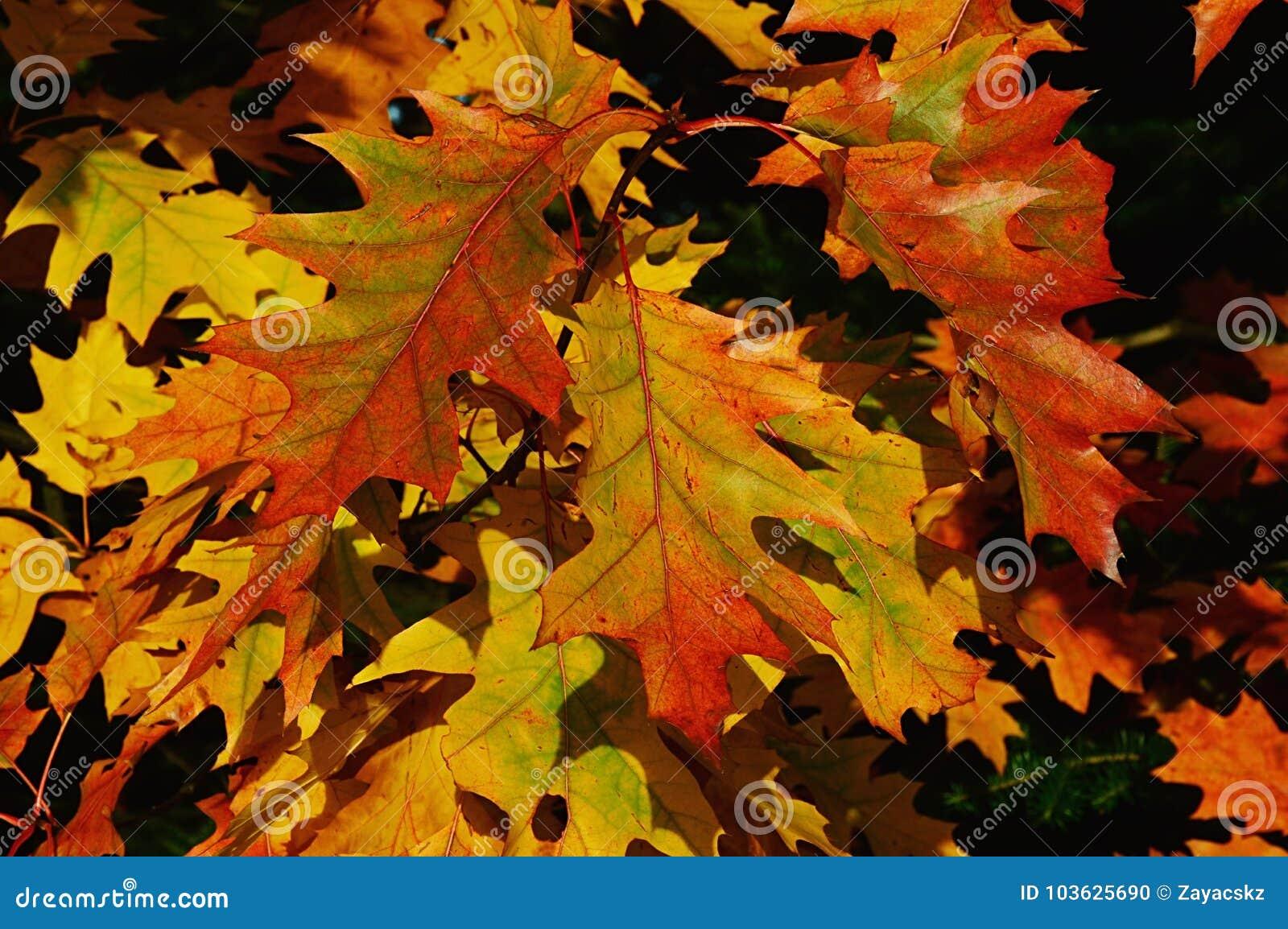 De de herfstbladeren van noordelijke rode eiken boom, riepen ook kampioen eiken, Latijnse naamquercus Rubra, die palet van kleure