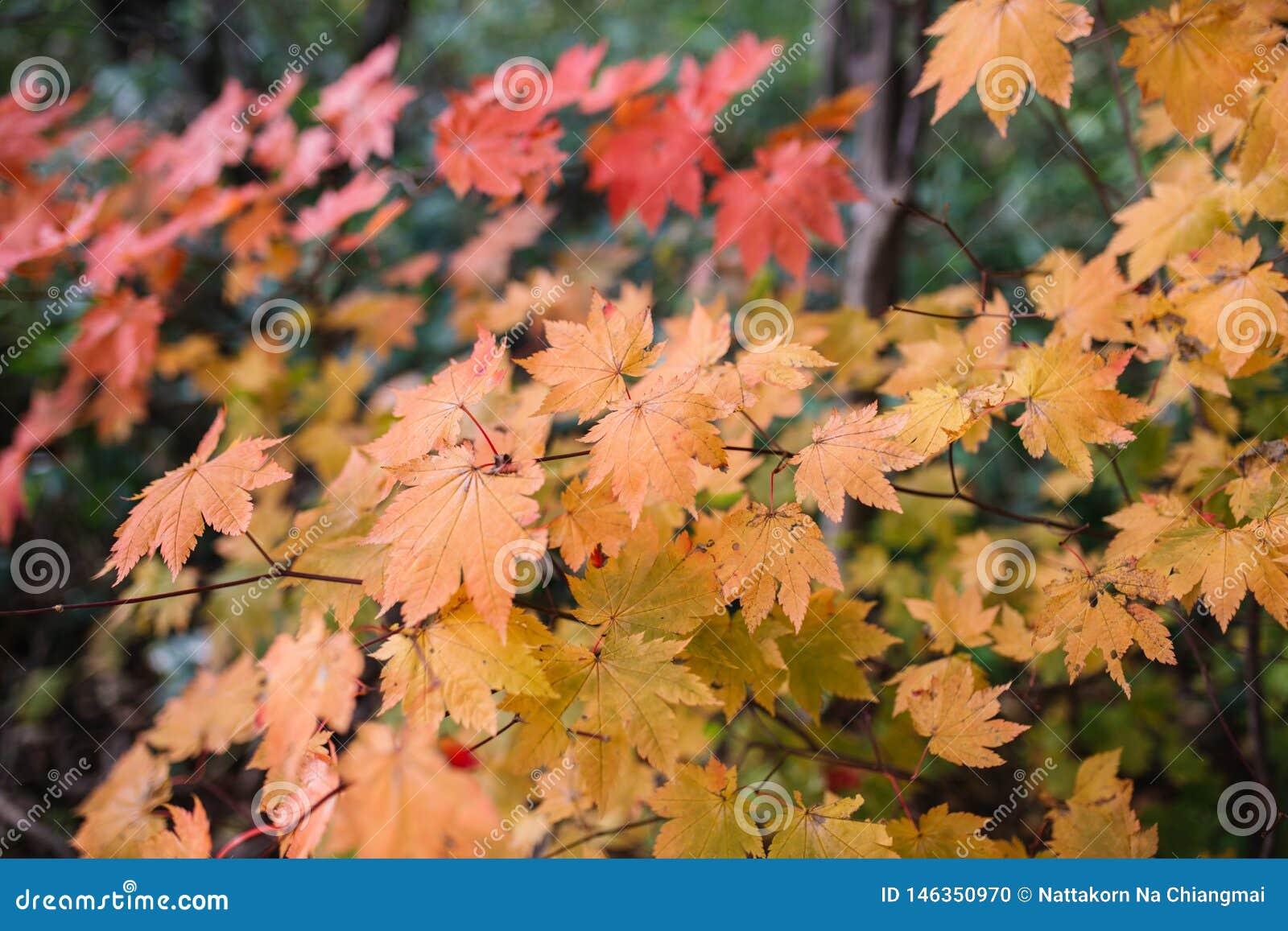 De herfstseizoen, gele en rode kleuren van Japanse esdoornbladeren