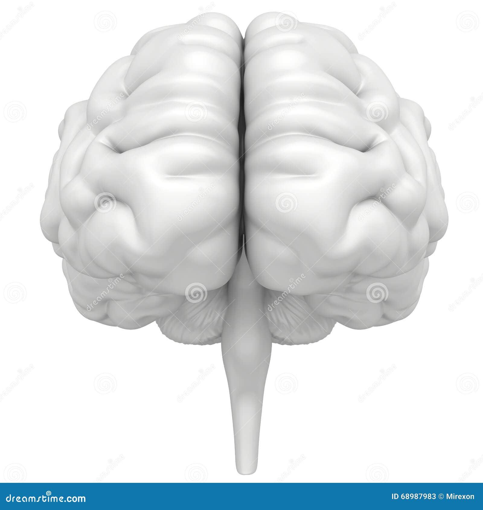 De hersenen zijn een close-up op witte achtergrond wordt geïsoleerd die