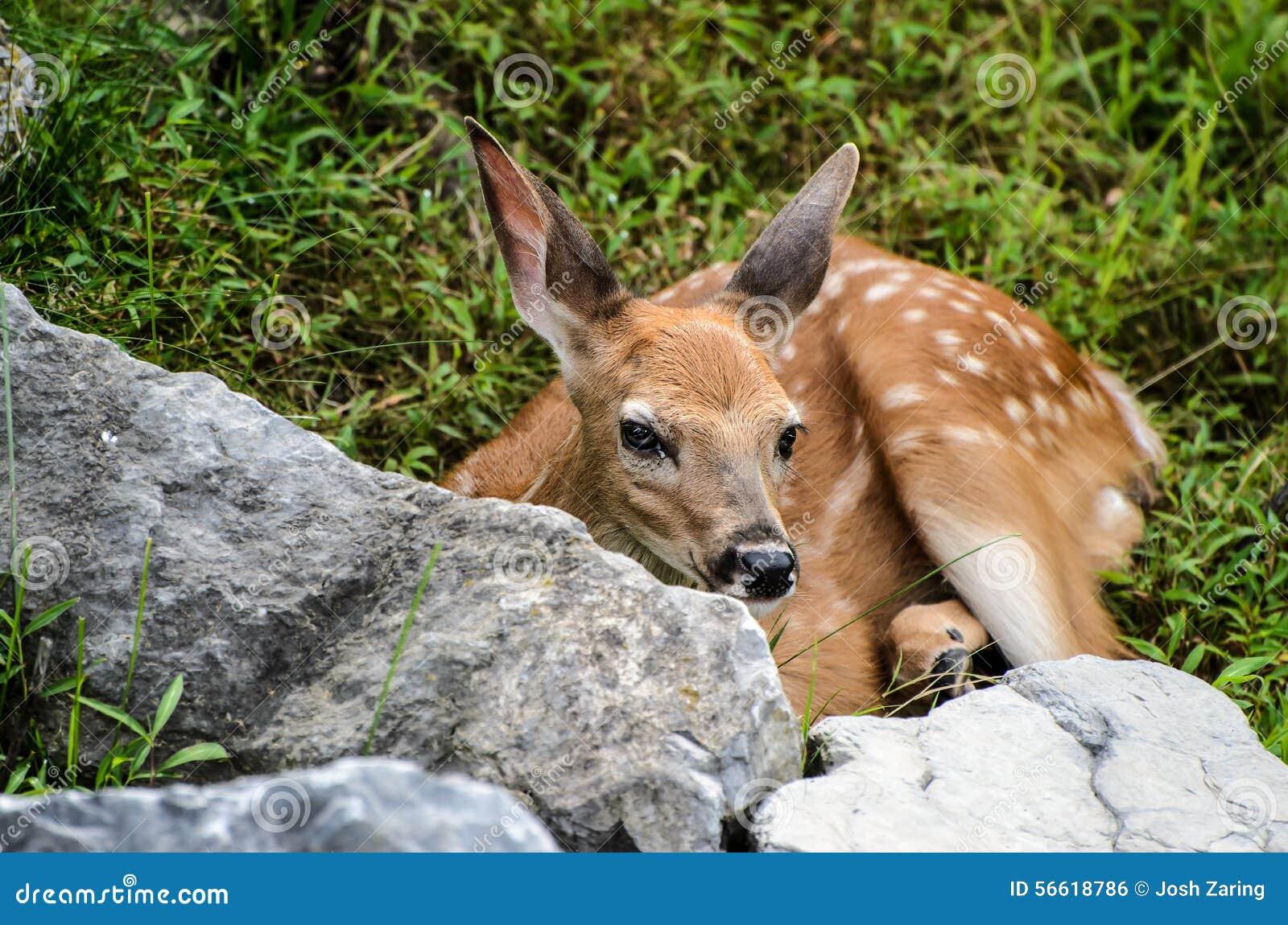 De Herten Fawn Looking van babywhitetail bij u