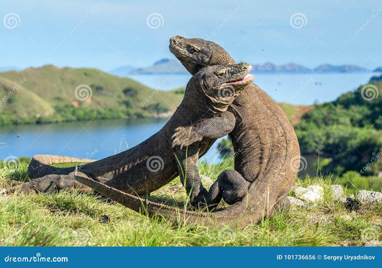 De het Vechten Comodo draken