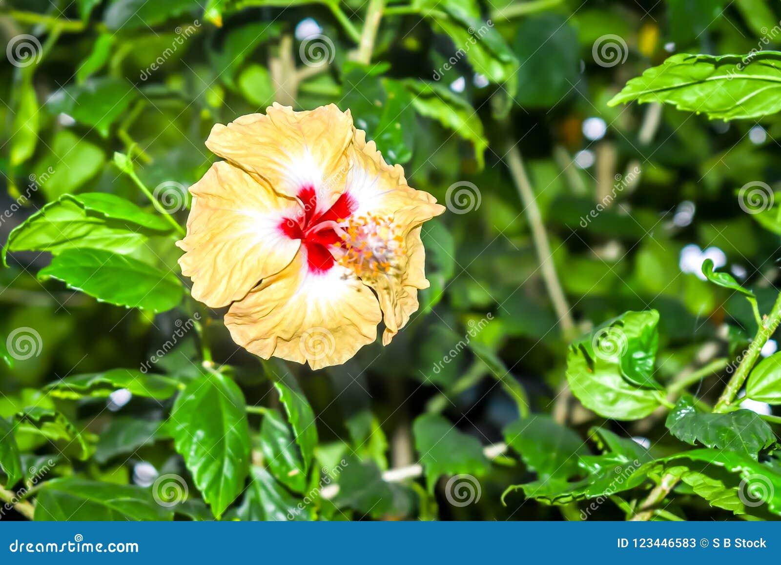 De hibiscus Chinees nam toe
