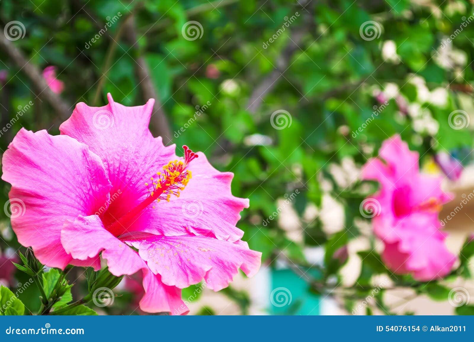 De hibiscus sluit omhoog