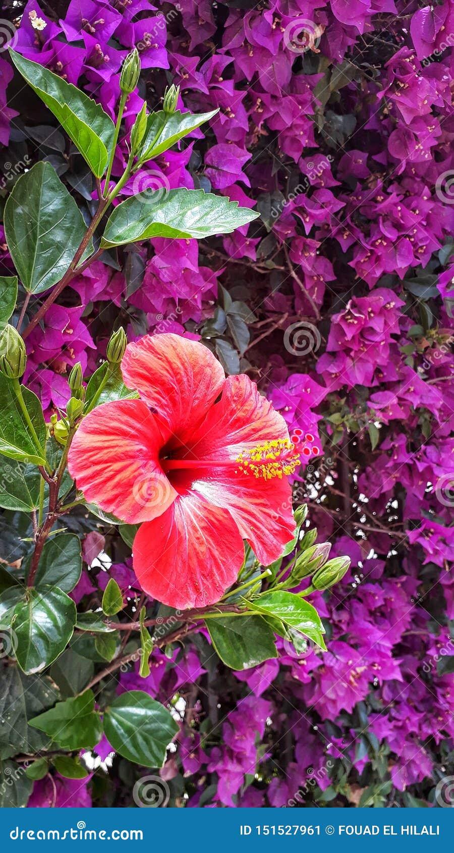De Hibiscusbloem van Nice