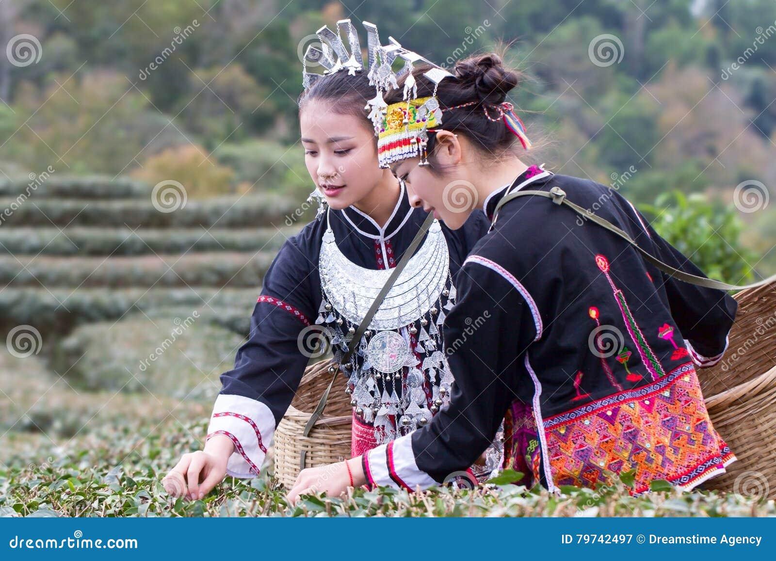 De Hmong-vrouwen op hun traditionele kleding verzamelen theebladen