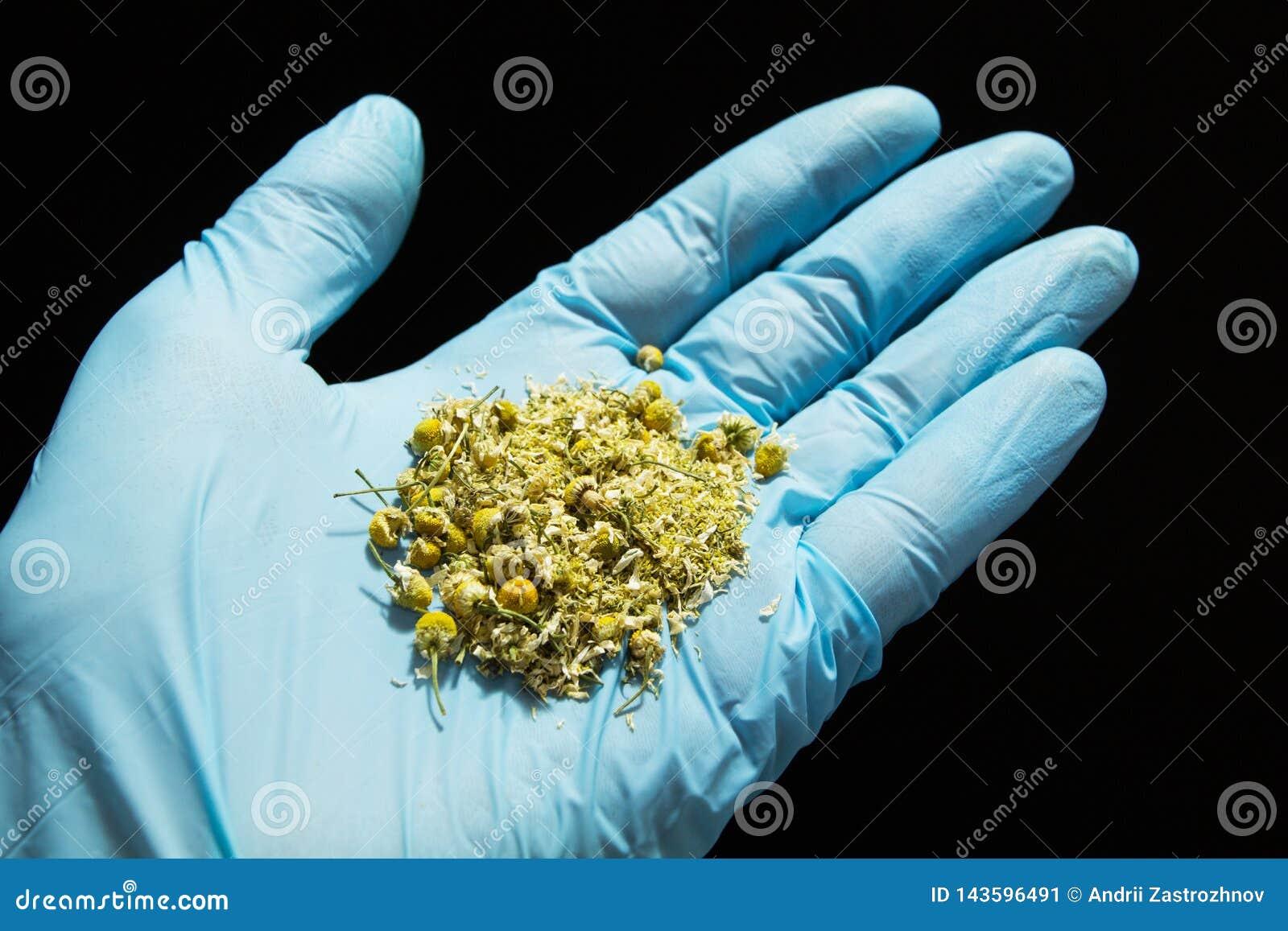De homeopathische behandeling, droge kamillebloemen in arts dient een blauwe medische handschoen op een zwarte achtergrond in