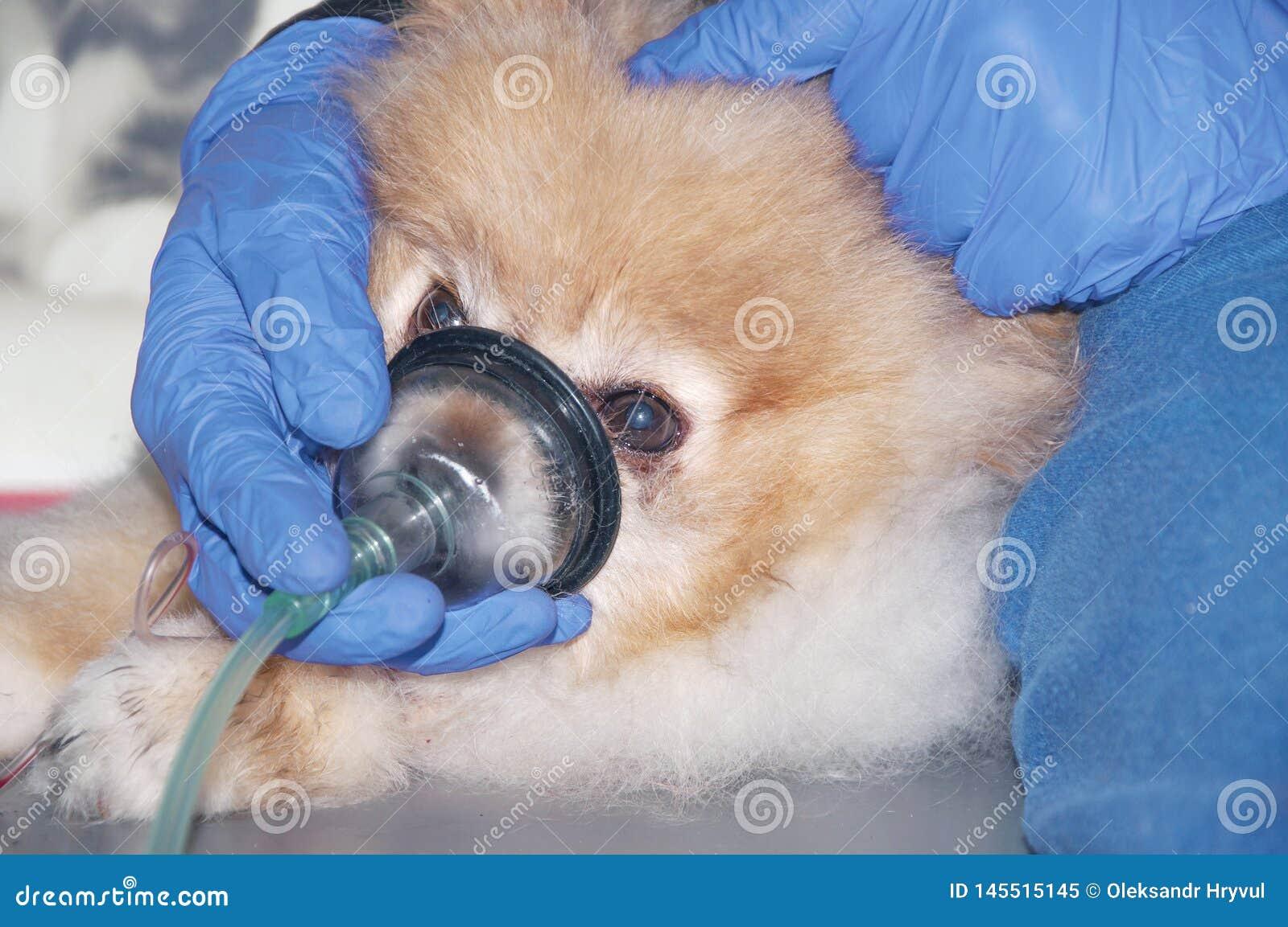 De hond ademt door het zuurstofmasker