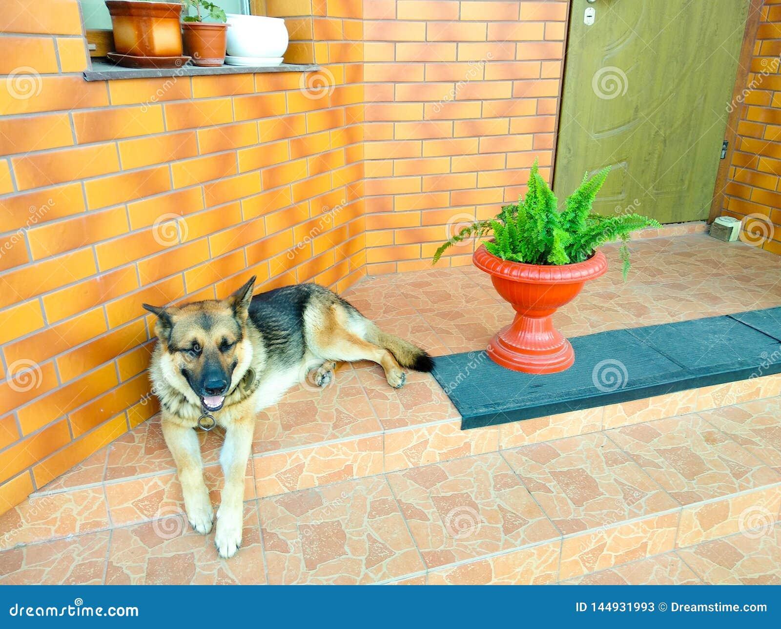 De hond die van de Duitse herder op de stappen ligt