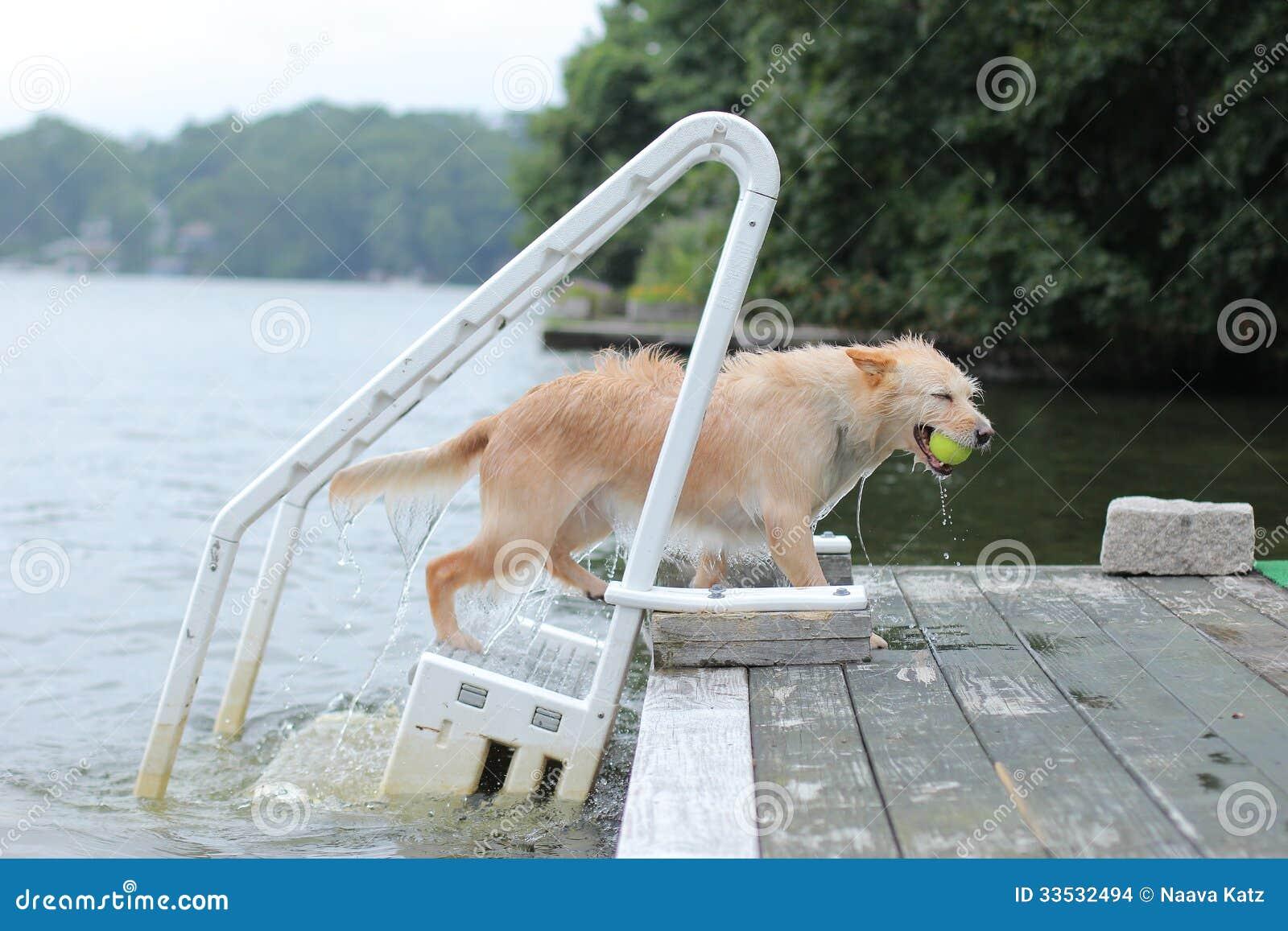 De hond draagt de bal aan het dok