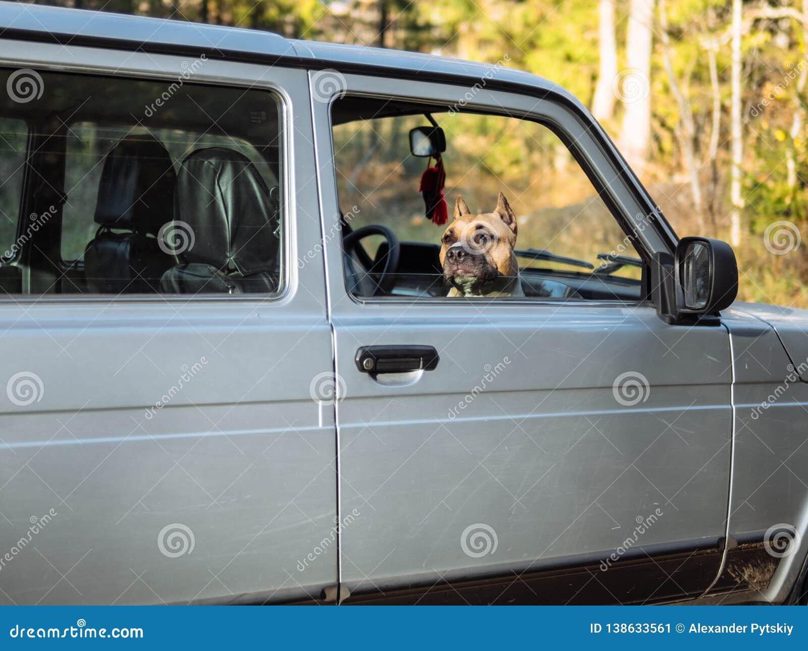 De hond kijkt uit de auto