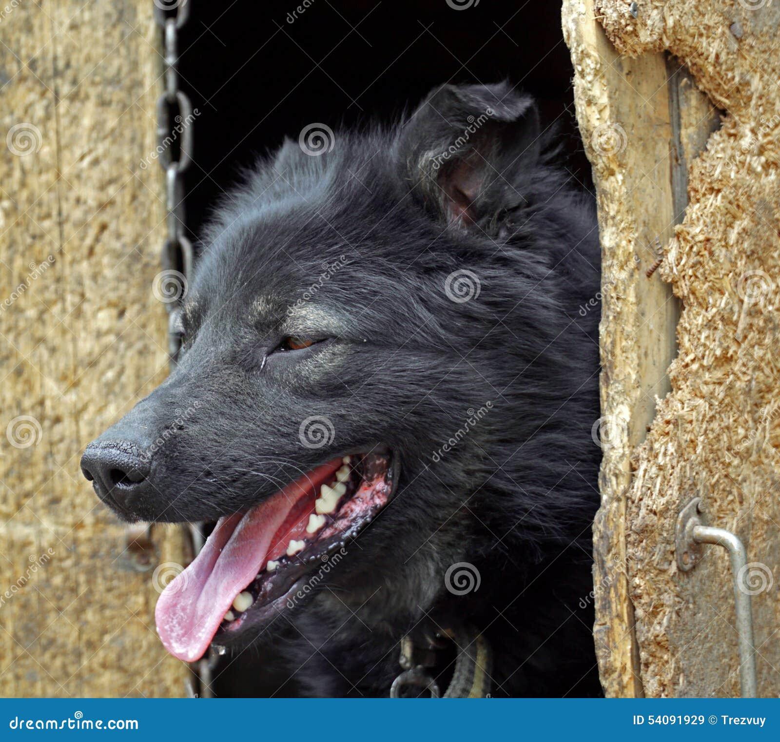 De hond kijkt uit de kennel