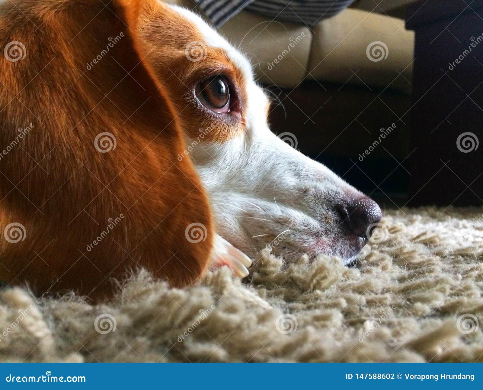 De hond kijkt vooruit op het grijze tapijt