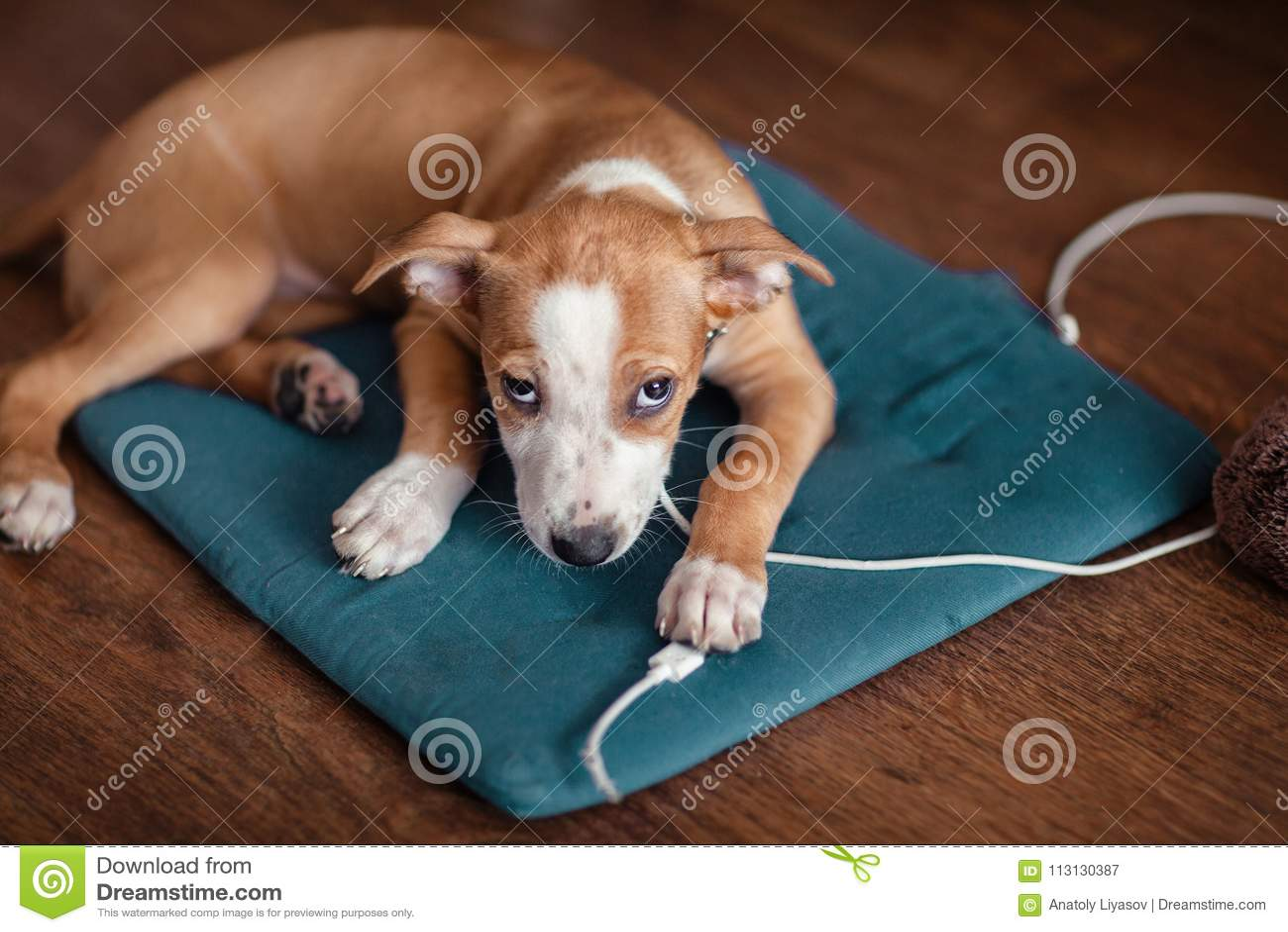 De hond knaagt USB-aan draad