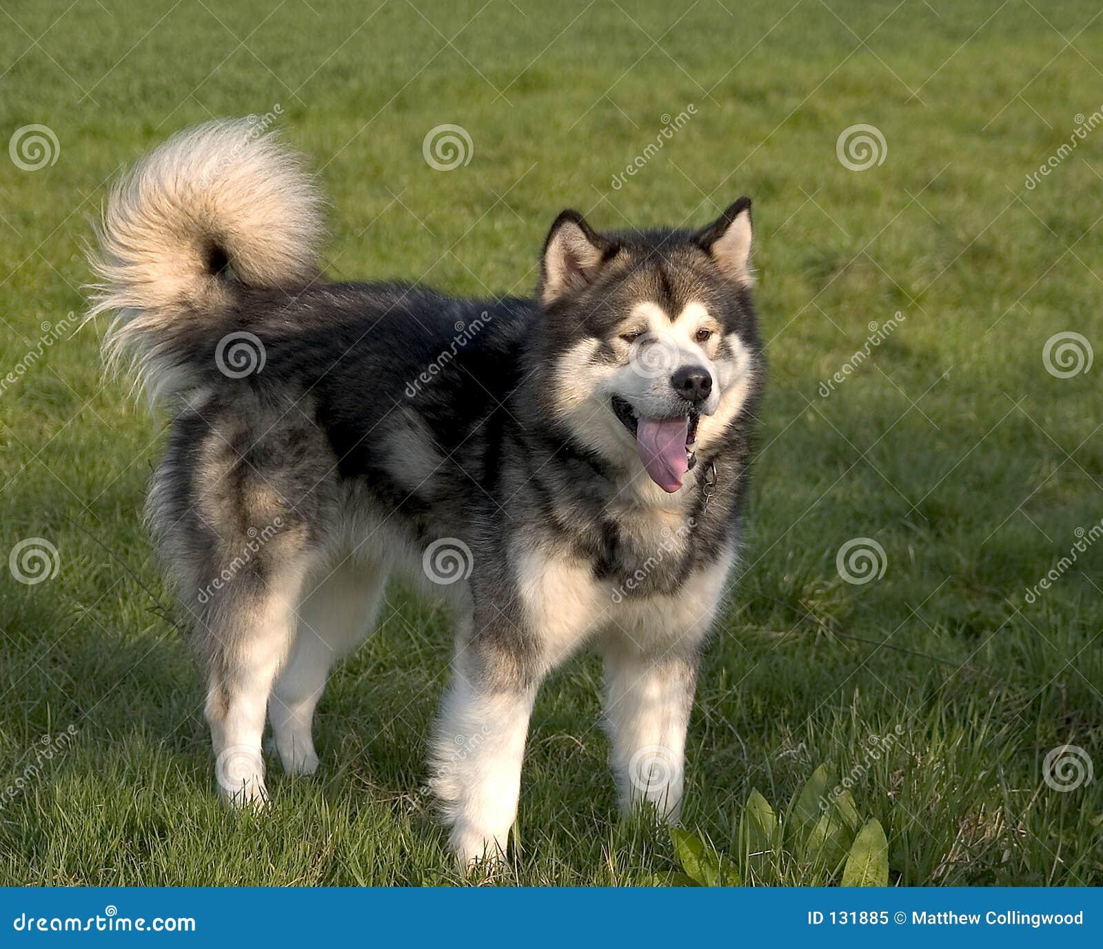 De Hond Malamute van Alaska
