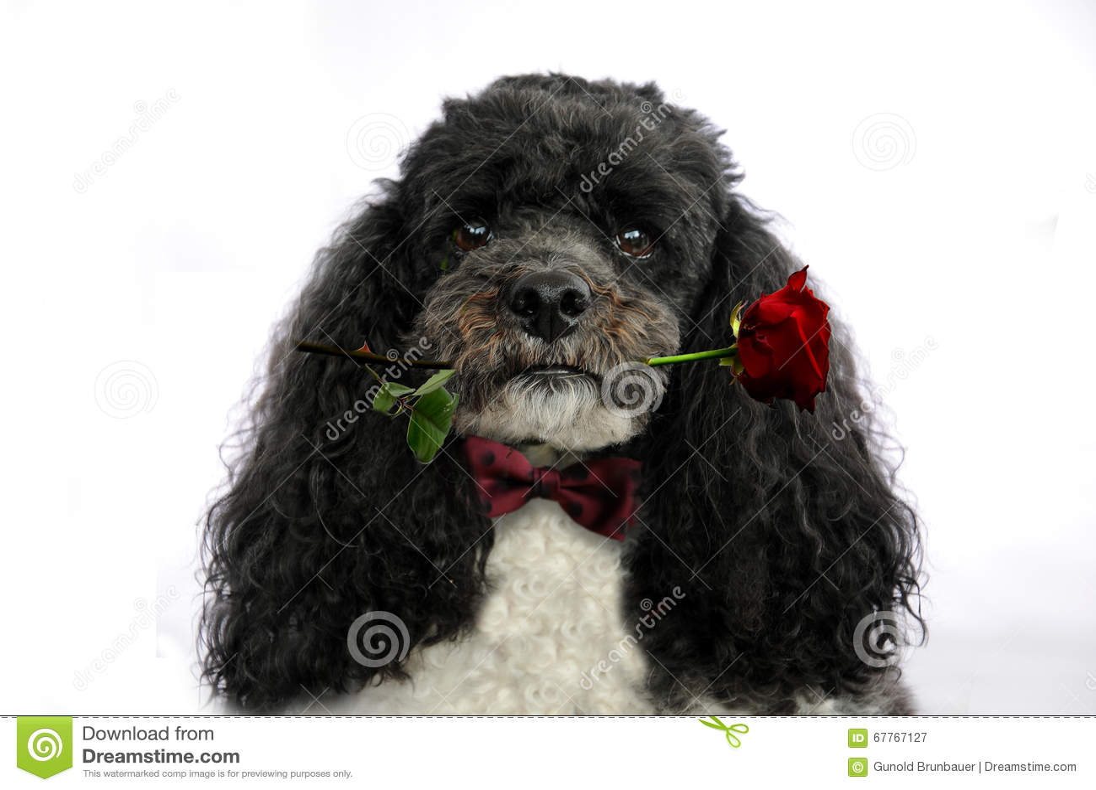 De hond met rood nam toe