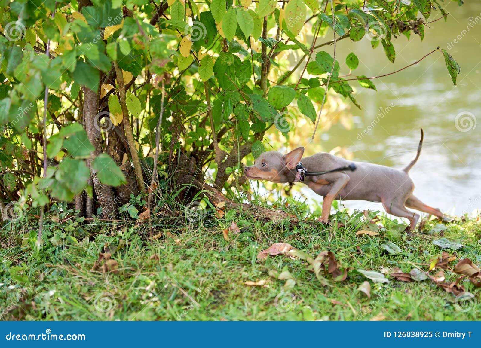 De hond snuift en neemt in de struiken heimelijk Russisch Toy Terrier, Russkiy-Stuk speelgoed