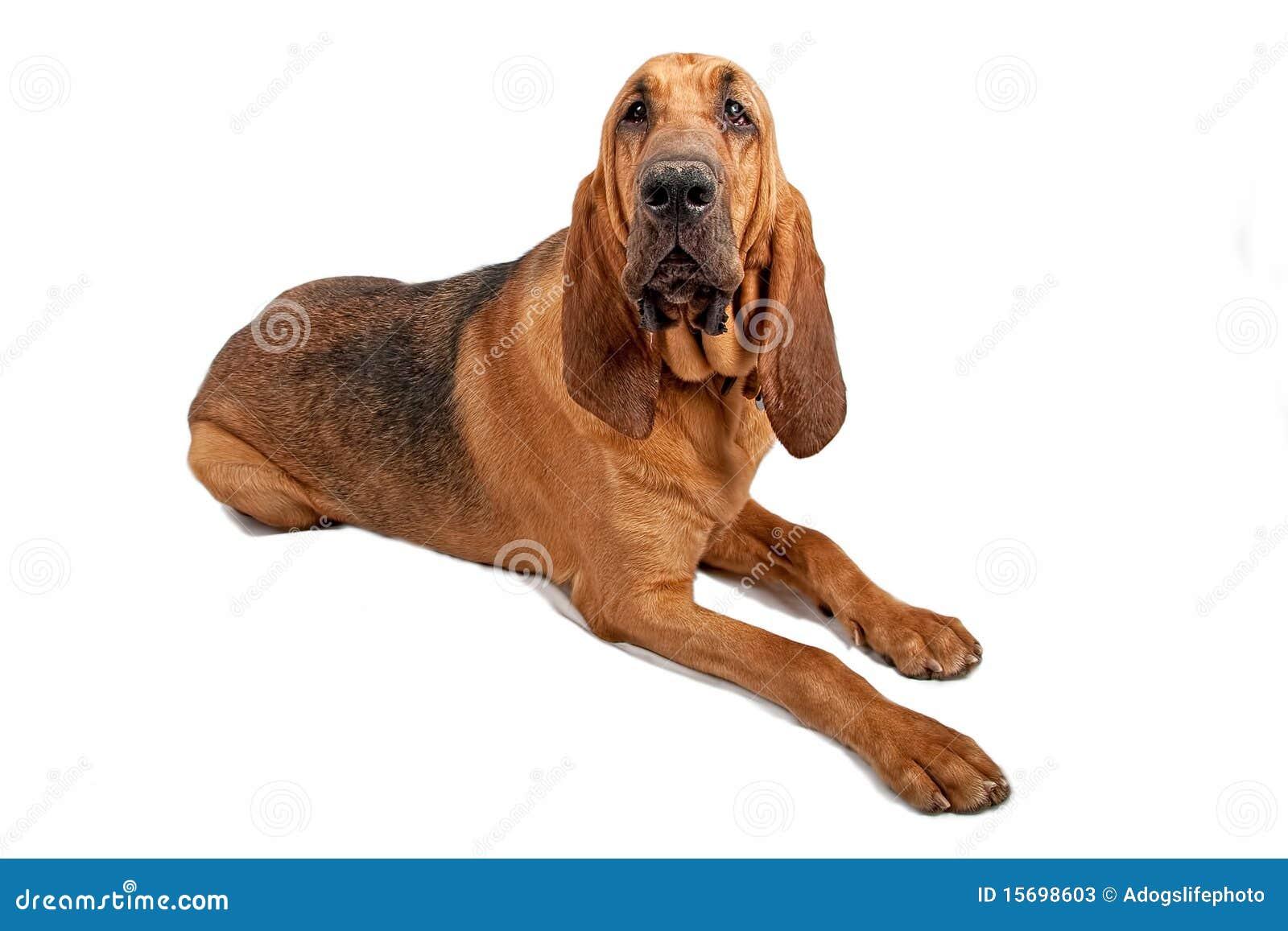 De Hond van de bloedhond die op Wit wordt geïsoleerdo
