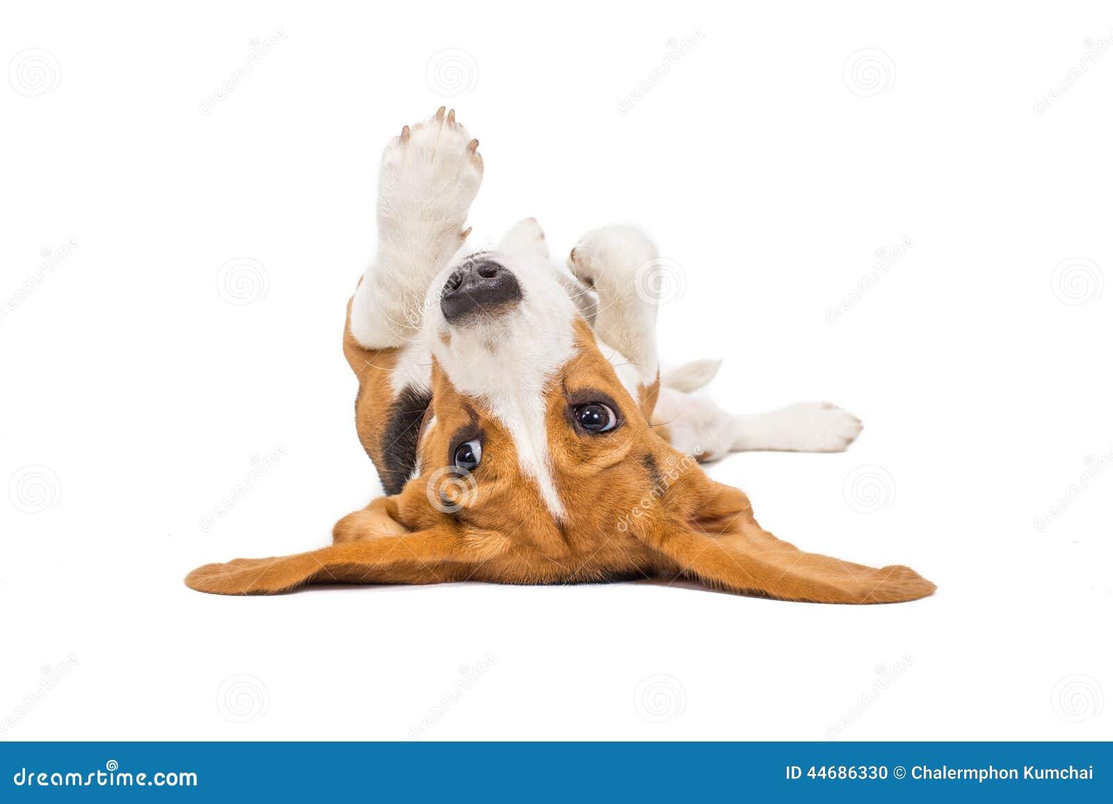 De hond van de brak op witte achtergrond