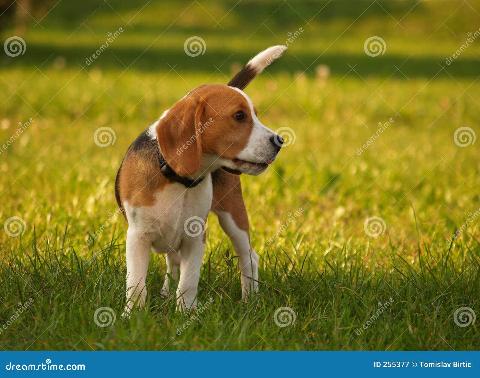 De Hond van de brak/van de Waarnemer